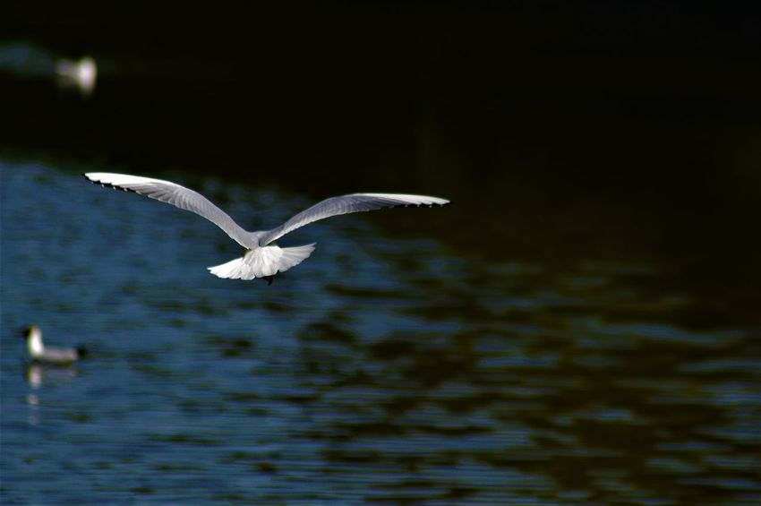 Animal Wildlife Bird Flying Mcgaffinphotography Mid-air Seagull Spread Wings