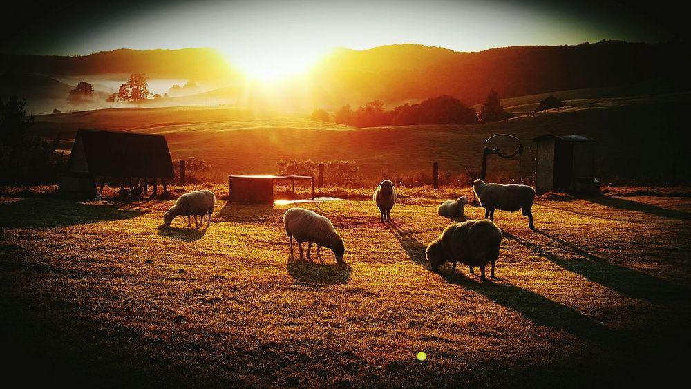 Sheep🐑 Animals Sunrise