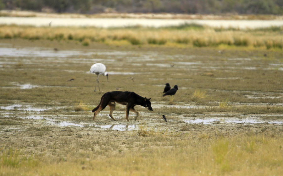 A black dingo walking at the Coongie Lakes with a Brolga in the back ground Outback Australian Outback Wild Dingo Australia Brolga Animal Themes Animal Wildlife Animals In The Wild Australian Wildlife Beauty In Nature Black Dingo Coongie Lakes Dingo Wildlife