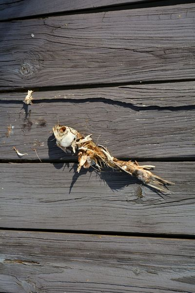 Racoon's leftover Remains Wildlife Carcass Fish Fish Bones Skeleton Life Cycle Dock Close-up