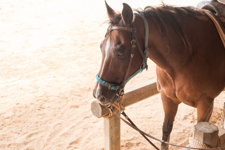 Horses are fast-paced animals. Used to make a vehicle. Farming Animal Mammal Horse Portrait HEAD Field Horses Equestrian Thoroughbred Brown Equus