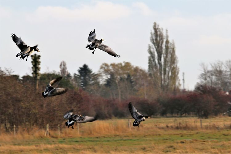 Flying geese withe spred wing ready to land.