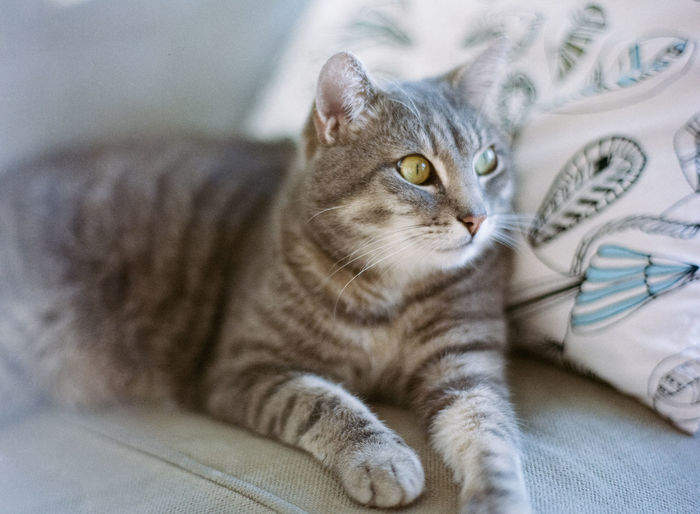 Grey Striped