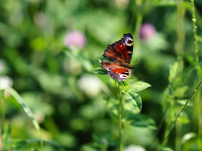 Animal Animal Themes Animal Wildlife Animal Wing Animals In The Wild Beauty In Nature Butterfly Butterfly - Insect Close-up Day Flower Flower Head Flowering Plant Fragility Green Color Growth Insect Invertebrate Nature No People One Animal Outdoors Plant Pollination Vulnerability