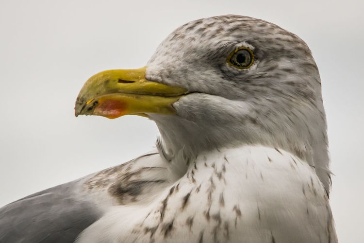 Animal Animal Head  Animal Themes Animals In The Wild Beak Bird Close-up Curiosity Eye Feathers Focus On Foreground No People One Animal Seagull Side View Wildlife Zoology