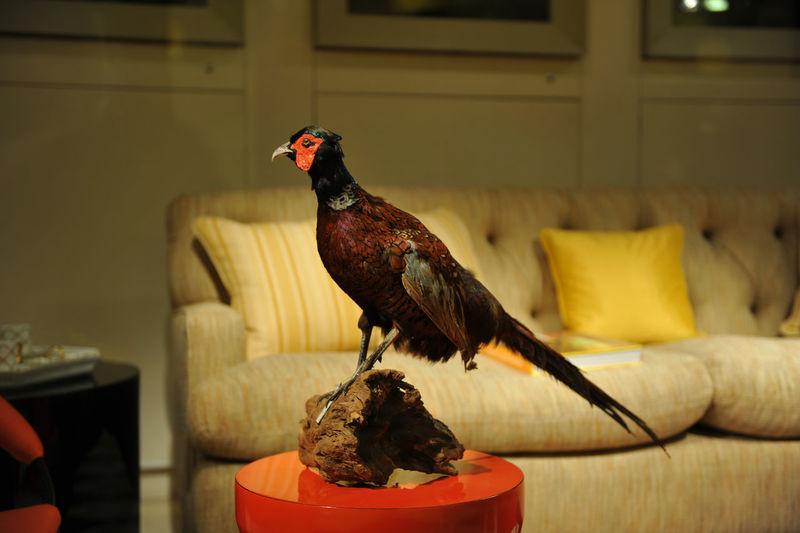 Stuffed pheasant in living room
