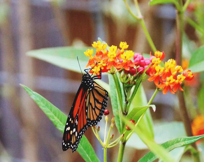 Insect Invertebrate Animal Themes Animal Animal Wildlife Animals In The Wild Flower Focus On Foreground One Animal Beauty In Nature Animal Wing Plant Flowering Plant Close-up Butterfly - Insect Fragility No People Nature Vulnerability  Growth