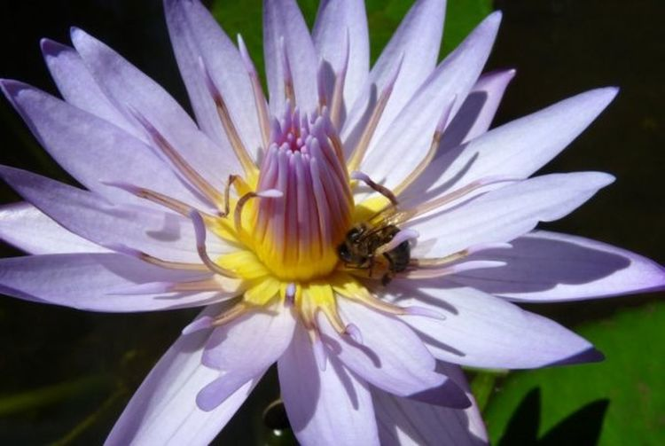 Macro Beauty Nenuphar Abeille Fleurs Butinage