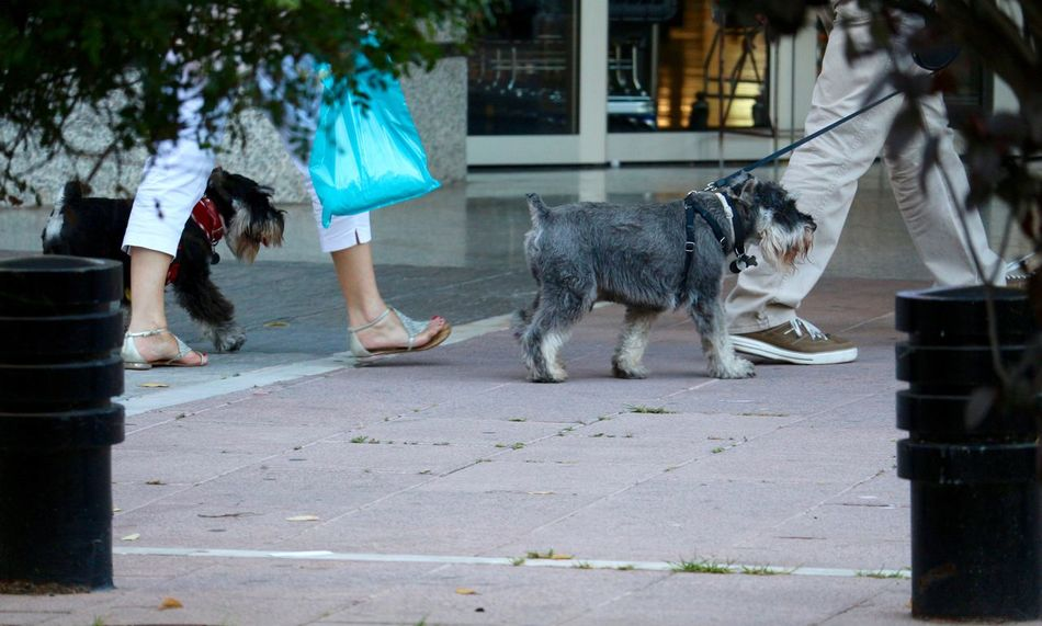 A dogs day! So cute... Cute Day Dogs Dogslife Domestic Animals Feel The Journey Feet Ground Outdoors Pets Schnauzerlove Schnauzers Walking Around