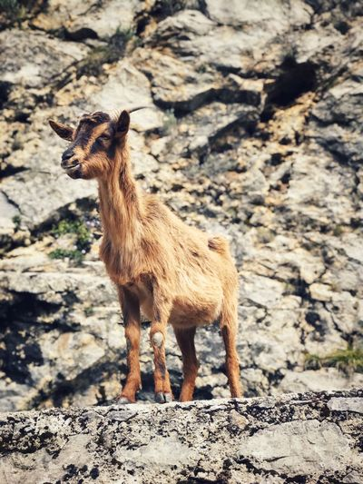 Low angle view of kid goat standing on rock