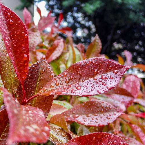 Beauty In Nature Botany Change Close-up Day Detail Droplet Flowers & Leaves Focus On Foreground Fragility Freshness Growing Growth Leaf Leaf Vein Leaves Natural Pattern Nature Outdoors Plant Rain Red Selective Focus Spring Tranquility