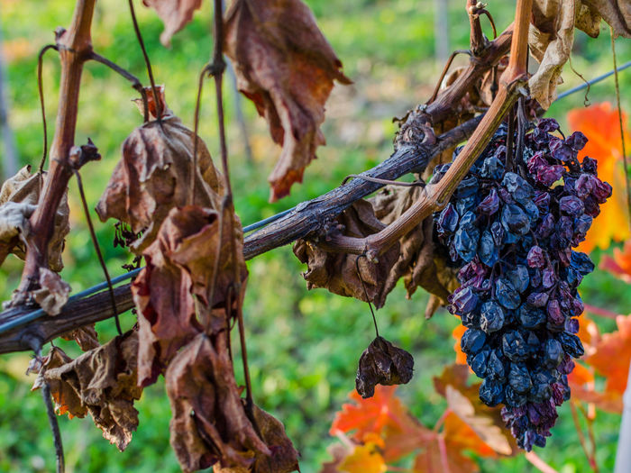 Close-Up Of Dry Grapes At Vineyard