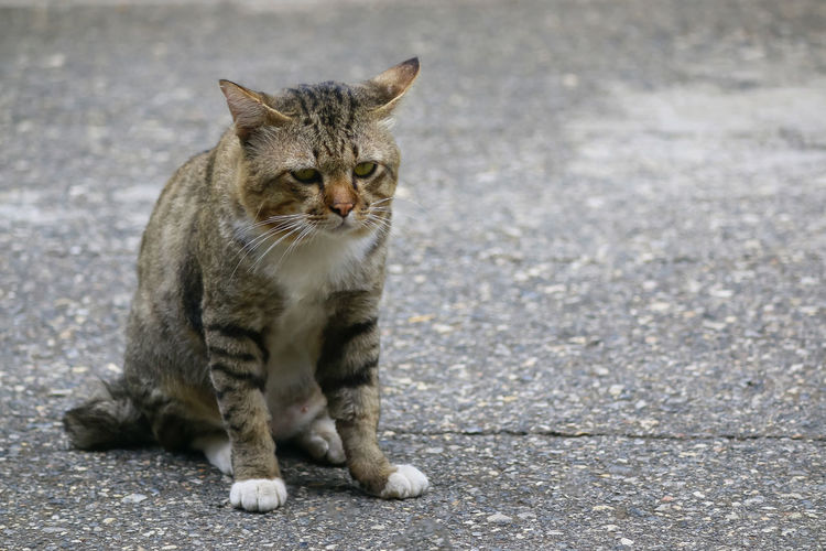 Portrait of a cat sitting on street