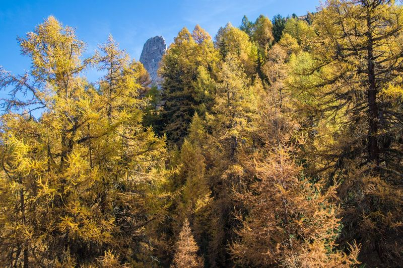 col of lien,valais,swiss Tree Autumn Plant Beauty In Nature Change Land Forest Nature Growth Day No People Tranquility Scenics - Nature Tranquil Scene Outdoors Sky Landscape Sunlight Mountain Environment Coniferous Tree WoodLand Pine Tree Pine Woodland Autumn Collection