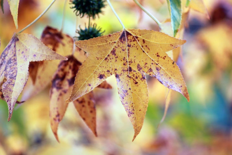 Autumn Beauty In Nature Change Close-up Day Growth Leaf Leaves Maple Maple Leaf Nature No People Outdoors