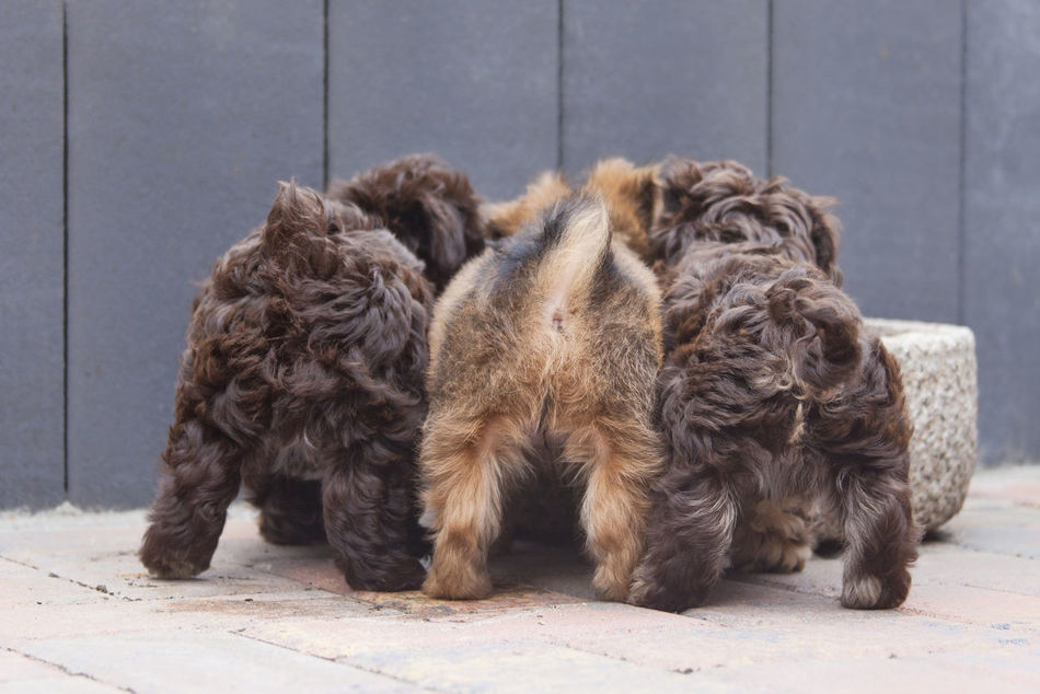 3 puppies backside Animal Bolonka BolonkaZwetna Cute Dog Dogs Domestic Animals Mammal No People Pets Puppy First Eyeem Photo