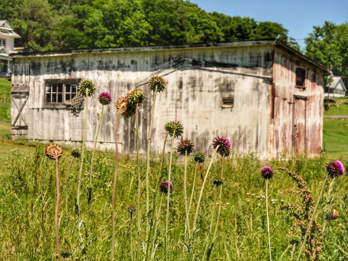 Purple flowers in field against abandoned house during sunny day