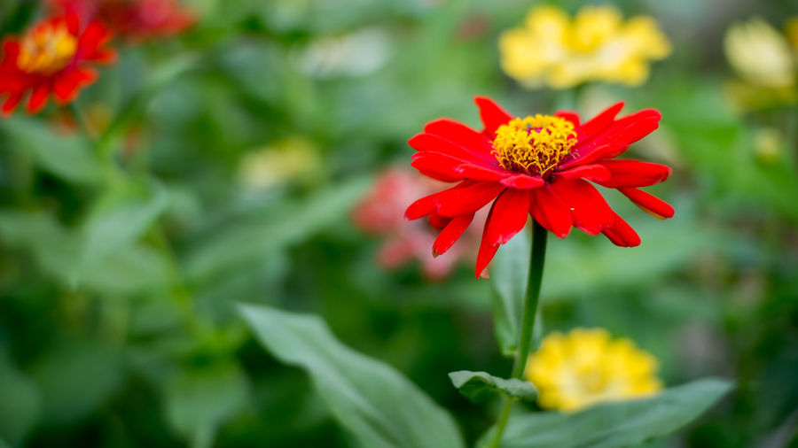 Flower Head Flower Zinnia  Multi Colored Red Poppy Petal Springtime Flowerbed Close-up Hibiscus Botanical Garden Flowering Plant Botany Pistil Daisy Single Flower Day Lily Rhododendron Apple Blossom Focus Exotic Lily Gerbera Daisy Blooming In Bloom Stamen Wildflower Pollen Plant Life
