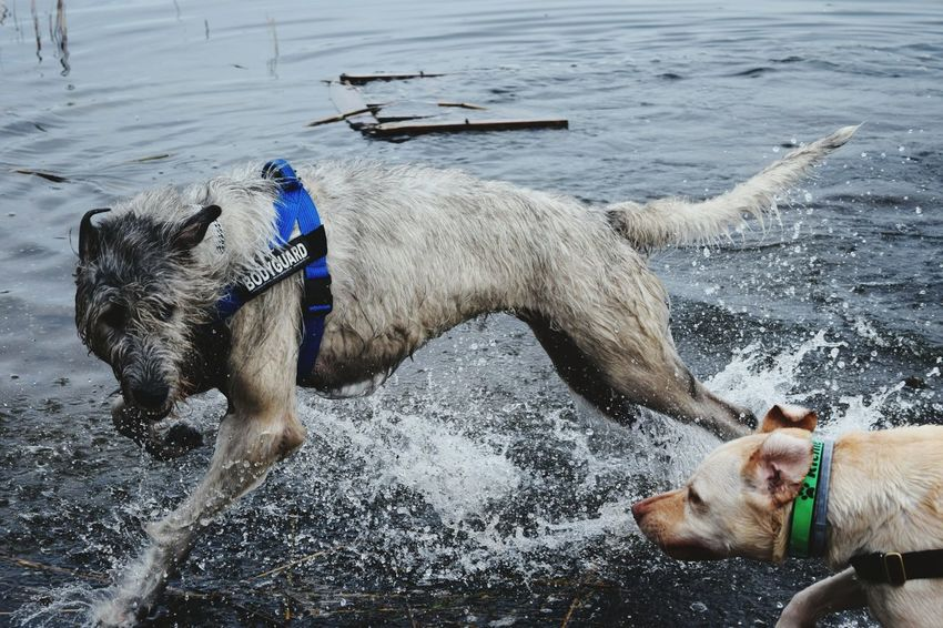 Water Animal Themes Outdoors Sea Togetherness Dogwalk Friendship Portrait Dogslife Dogs Of EyeEm Dogs Of Winter Dog Of The Day Irish Wolfhound Cearnaigh Labrador How Is The Weather Today? A Walk In The Park Winter 2017 March 2017 Neustädter See Water_collection Playing Dogs