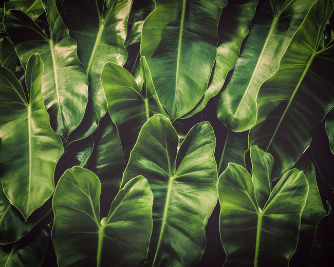 Textured of green leaves under sunlight background.