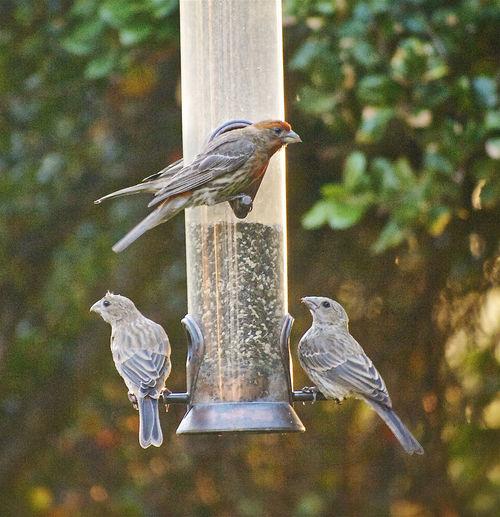 Bird Bird Feeder Feather  House Finch My Backyard View No People Outdoors Perching