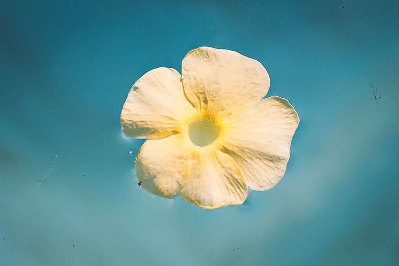 Close-up of white flower against blue background