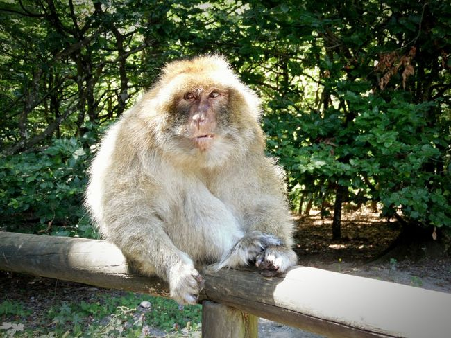 One Animal Wildlife Animals In The Wild Sitting Zoology Monkey Nature Green Color Outdoors Beauty In Nature Animal Bodenseeregion Hello World Taking Photos Trossingen Nature Affenberg Salem Bodensee Berberaffen Berberapes Ape Feedme