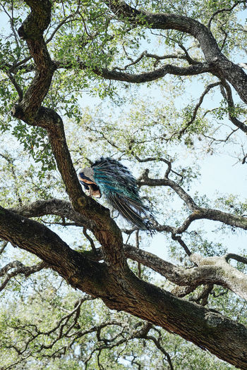 Tree Plant Branch Animal Wildlife Animal Themes Animals In The Wild Animal One Animal Low Angle View Vertebrate Perching Bird Day Nature Growth Outdoors Trunk Tree Trunk Beauty In Nature Peacock
