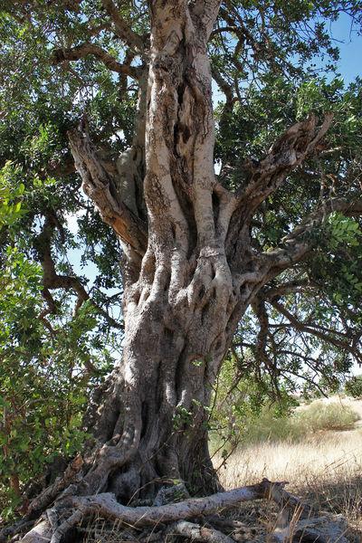Arid Climate Carob Carobtree Old Rough Tree