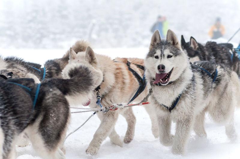 Wolfdogs on snow
