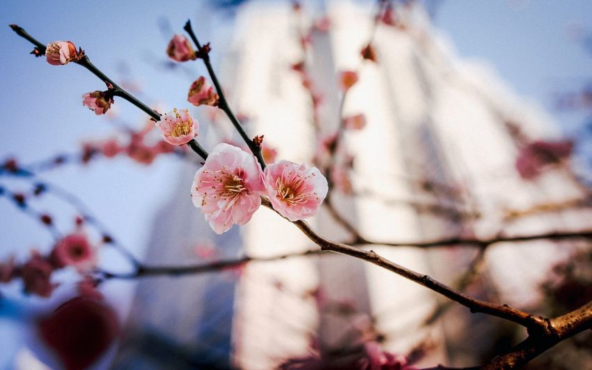 Sakura Explorejapan Discovertokyo Visitjapanjp Gramslayers Creativeoptic#visualambassadors Urbanandstreet#heatercentral Fatalframes EyeEm Selects Flower Head Tree Flower Branch Springtime Pink Color Plum Blossom Blossom Twig Sky Cherry Blossom In Bloom Cosmos Flower Cherry Tree Plant Life Blooming Petal