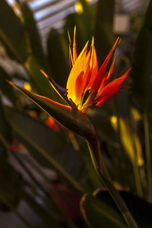 Flowering Plant Freshness Freshnesss Green Growth Inner Power Nature Plant Bird Of Paradise - Plant Blooming Botany Closeup Color Flower Greenhouse No People Orange Color Springtime Summer Tropical Tropical Plants Vibrant Color