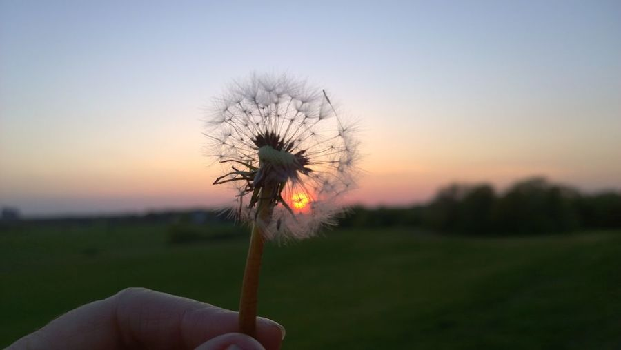 Cropped hand holding dandelion against sky during sunset