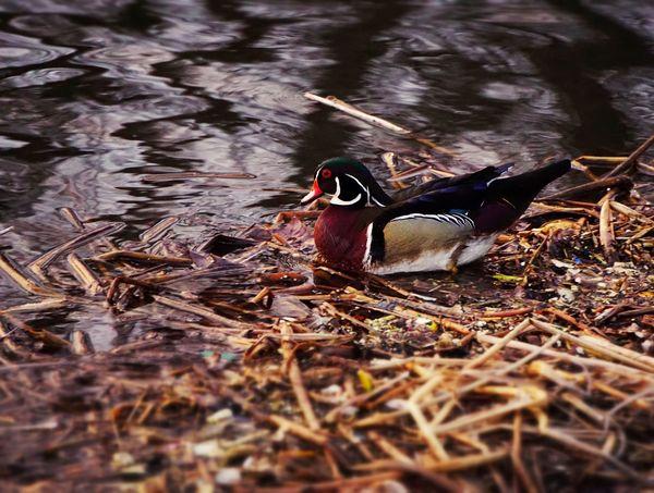 One more image of the handsome wood duck Wood Duck  Duck Pretty Bird Pond EyeEm Bird Lover  EyeEm Birds EyeEm Nature Lover Nature
