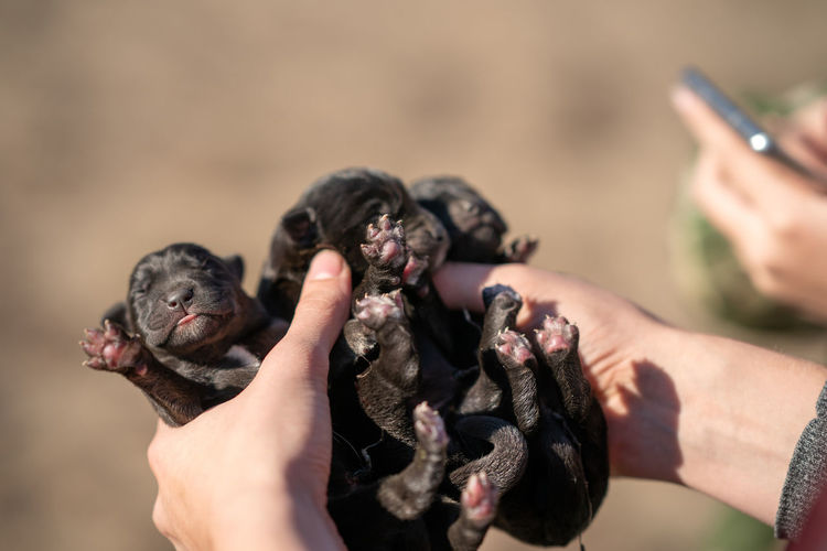 Three newborn puppies of labrador retriever. close-up of hand holding puppies. first day life