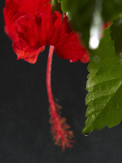 malaysia national flower bunga raya or hibiscus Beauty In Nature Bunga Raya Close-up Flower Flower Head Flowering Plant Focus On Foreground Fragility Freshness Green Color Growth Hibiscus Leaf National Flower Nature No People Ornamental Plant Outdoors Petal Plant Plant Part Red Vulnerability