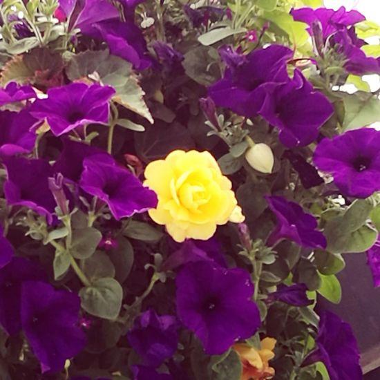 Beayellowflowerinaworldofpurpleflowers Yellow Flower Standout Purpleflowers Foilage Outandabout