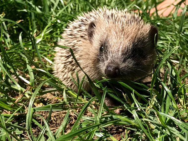 One Animal Grass Hedgehog Animal Wildlife Animal Animals In The Wild Mammal Nature Animal Themes No People Outdoors Day Close-up Portrait