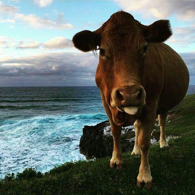 Cow Hawaii
