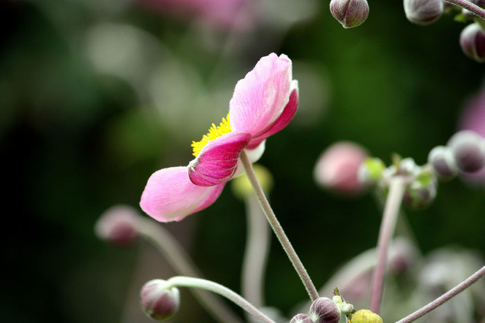 Beauty In Nature Blooming Close-up Flower Flower Head Focus On Foreground Fragility Freshness Garden Flowers Garden Photography Growth Japanese Anemone No People Pink Color Pink Flower Selective Focus Single Flower Stamen Blossom In Bloom