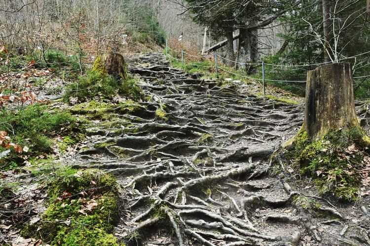 Roots Of Tree Roots As Stairs Nature_perfection
