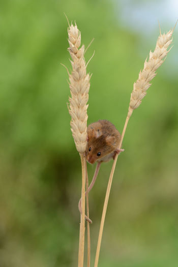 field mouse in the corn Nature Animal Animal Themes Animal Wildlife Animals In The Wild Beauty In Nature Brown Close-up Day Field Mouse Focus On Foreground Nature No People One Animal Outdoors Plant Plant Stem Wildlife Wildlife And Nature