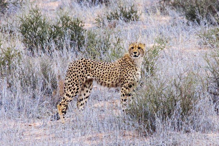Kgalagadi Cheetah Cheetahs Bigcat Bigcats Bigcatphotography Animal Photography Africa Botswana Safari Animals Wildlife Wildlife & Nature Wildlife Photography Wildlifephotography Wildlife Photos Safari Park