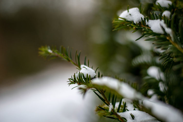Close-up of pine tree in winter