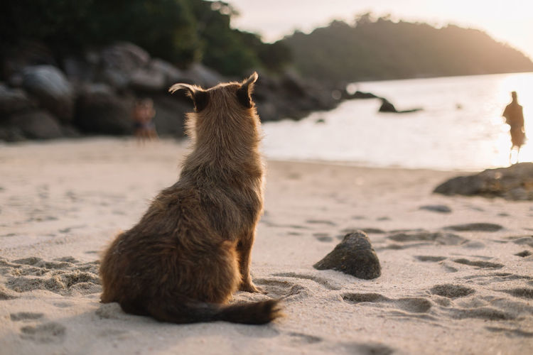 brown dog sitting alone on the beach alone and looking people in background. Dog Sitting Alone Looking Looking Away Animal Themes Animal Pets Pet Friendship Friends Lonely Beach Sand Sky Sun Sunset Sea Ocean Backgrounds People Rock Rock - Object Island Thailand Brown Brown Hair Hair Veterinary Orange Color Orange