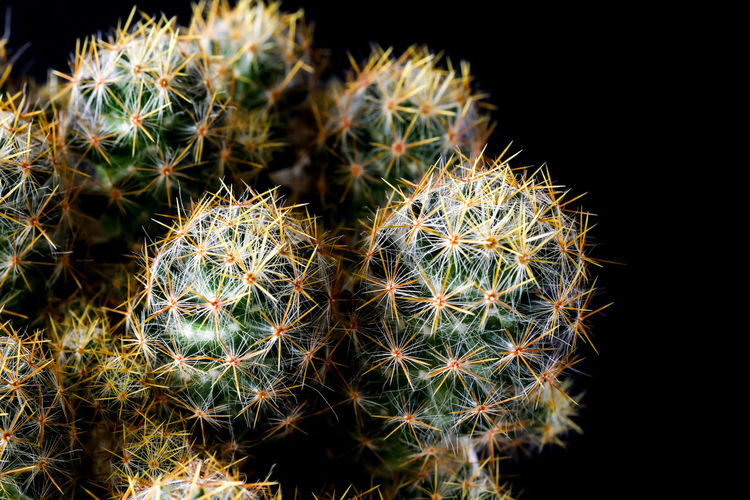 Arid Climate Barrel Cactus Beauty In Nature Black Background Cactus Close-up Focus On Foreground Green Color Growth Natural Pattern Nature No People Outdoors Plant Potted Plant Sharp Sign Spiked Spiky Succulent Plant Thorn Warning Sign