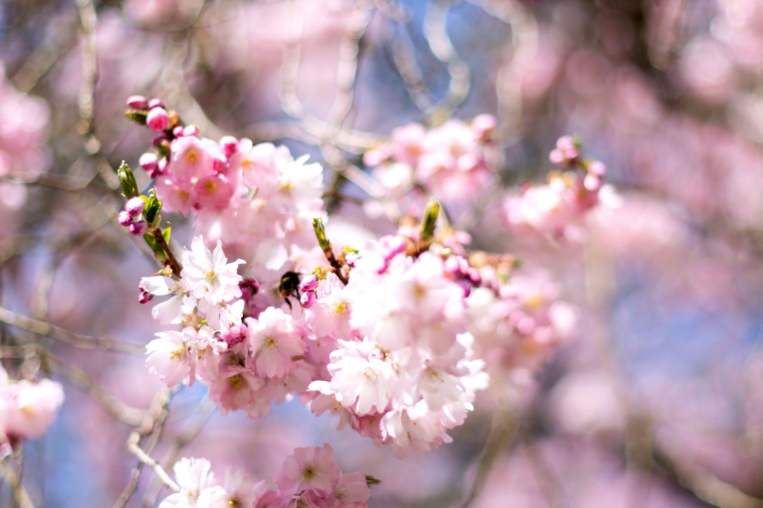 flower, fragility, blossom, beauty in nature, growth, pink color, tree, nature, springtime, freshness, branch, botany, petal, no people, day, selective focus, close-up, apple blossom, outdoors, flower head, blooming