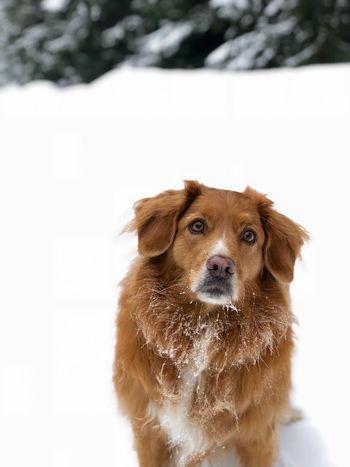 Tree Winter Annie Dog Nsdtr Toller Šumava Šumava Bohemia