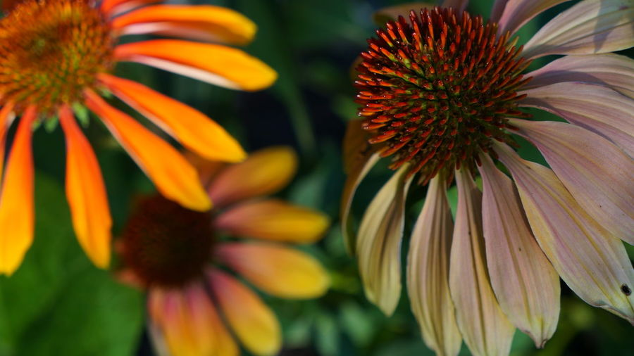 Echinacea Beauty In Nature Close-up Coneflower Day Flower Flower Head Flowering Plant Focus On Foreground Fragility Freshness Growth Inflorescence Nature No People Outdoors Petal Plant Pollen Selective Focus Vulnerability  Yellow