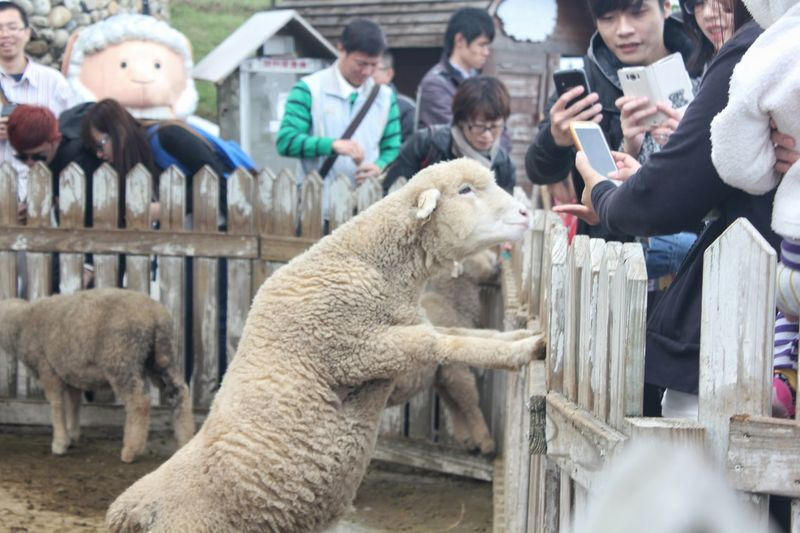 Animal Themes Sheep Outdoors Day People Adult Adults Only Mammal Sheep Farm Sheep Ranch Sheepfarm Sheep And Lambs Farm Taiwan Farm Animals Smartphone 21st Century Technology Everywhere Technology Addiction